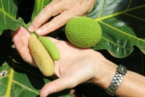 A ripe and an immature male breadfruit, and a female breadfruit.