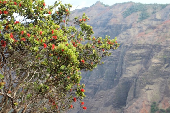 A healthy 'ohia in Waimea Canyon. Photo by J. B. Friday, University of Hawai'i