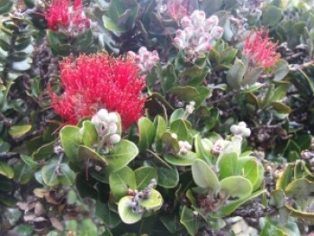 'Ohia flowers on the Big Island.