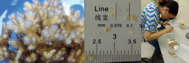 Adult coral (Pocillopora_damicornis) and larvae (~1 millimeter). Photos by Hollie Putnam and Beth Lenz