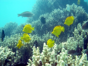 Yellow tangs swimming in coral reef. Photo by National Oceanic and Atmospheric Administration