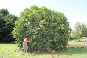 Diane Ragone, director at the Breadfruit Institute, is seen here standing by a breadfruit tree planted at the National Tropical Botanical Garden in Lawa'i in 2008.
