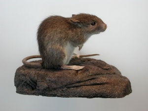 The Pacific or Polynesian rat is the smallest of the three rats (Rattus rattus, R. norvegicus and R. exulans) closely associated with humans. R. exulans has a slender body, pointed snout, large ears, and relatively small, delicate feet. A ruddy brown back contrasts with a whitish belly.