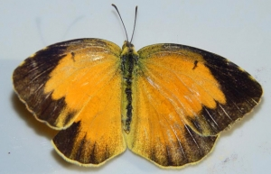 Sleepy Orange butterfly (Abaeis nicippe)