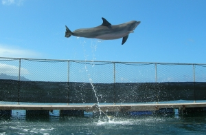 BJ, a 29-year-old female bottlenose dolphin (Tursiops truncatus)