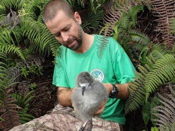 André Raine from Kauaʻi Endangered Seabird Recovery Project removes a Hawaiian Petrel chick from burrow for translocation. Photo by Mike McFarlin
