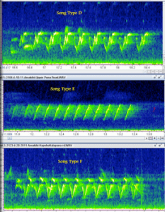 'Amakihi song spectrogram