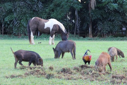 Horses, wild boars, chickens and mynah birds come together at lunch time on a Kilauea property.