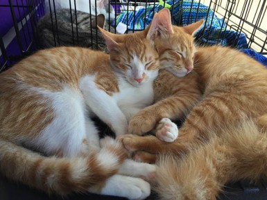 Snuggles and Fluffy are neutered, micro-chipped, free of fleas and 100 percent litter-box trained. These gentle 5-month-old brothers can be adopted through Judy Dalton, of Kaua'i Community Cats, at judydalton123@gmail.com or 482-1129.