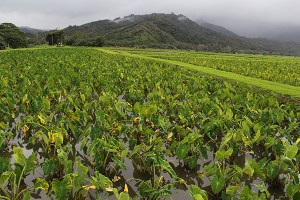 Hanalei taro fields, or lo'i.