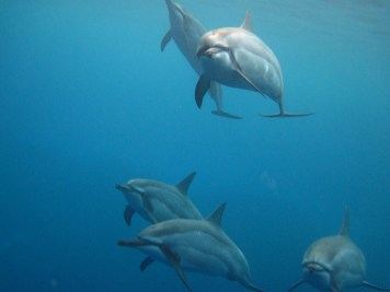 Spinner dolphins in Hawai'i. Photo by Claire Fackler/NOAA National Marine Sanctuaries