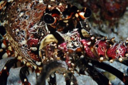 Hawaiian spiny lobster. Photo courtesy of NOAA