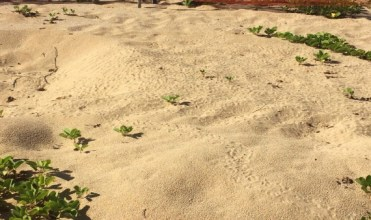 Hatchlings dig their way out of the sand and begin making their way to the beach. (Photo courtesy of PMRF Installation Environmental Program)