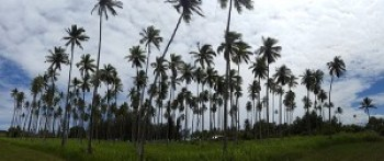 The iconic coconut grove in Waipouli was planted more than 100 years ago, and is largely responsible for the Eastside's designation of Royal Coconut Coast.