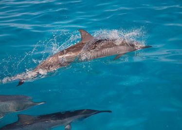 Spinner dolphins. Photo by Ryann Williams/NOAA
