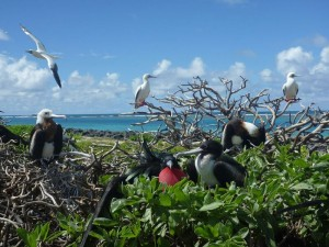Great frigatebirds and red-footed boobies. Photo by Ryann Williams/NOAA