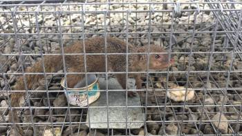Live mongoose captured at Lihu'e Airport. Photo courtesy of KISC