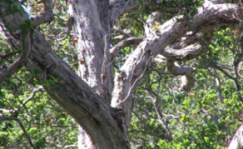 A centuries-old 'ōhia tree killed by disease on the Big Island. Photo courtesy of DLNR