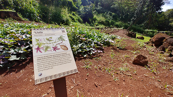 A patch of 'uala, or sweet potato, at NTBG's Canoe Plant Garden.