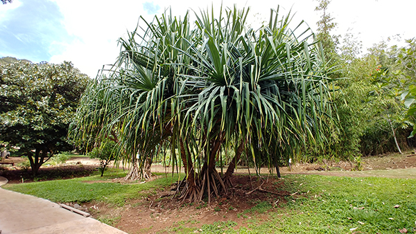 A hala tree at NTBG's Canoe Plant Garden. Photo by Léo Azambuja