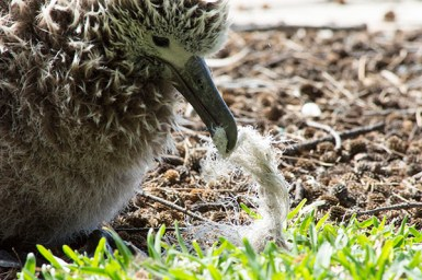 Albatross chick trying to eat marine debris on Midway Atoll in 2017. Photo courtesy of NOAA