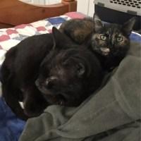 black cat torti cat bonded pair hoarding situation for kitty's sake adoption Raksha & Baghera