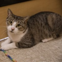 tabby white cat for adoption for kitty's sake gloucester county nj