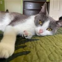gray and white cat for adoption for kitty's sake gloucester county nj