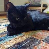black cat for adoption for kitty's sake