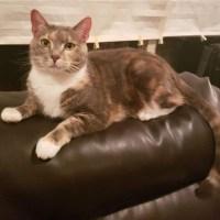 dilute calico for adoption diamond for kitty's sake glassboro nj