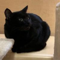 black cat juno for adoption for kitty's sake glassboro nj