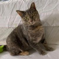dilute tortoiseshell cat for adoption for kitty's sake maizey glassboro nj