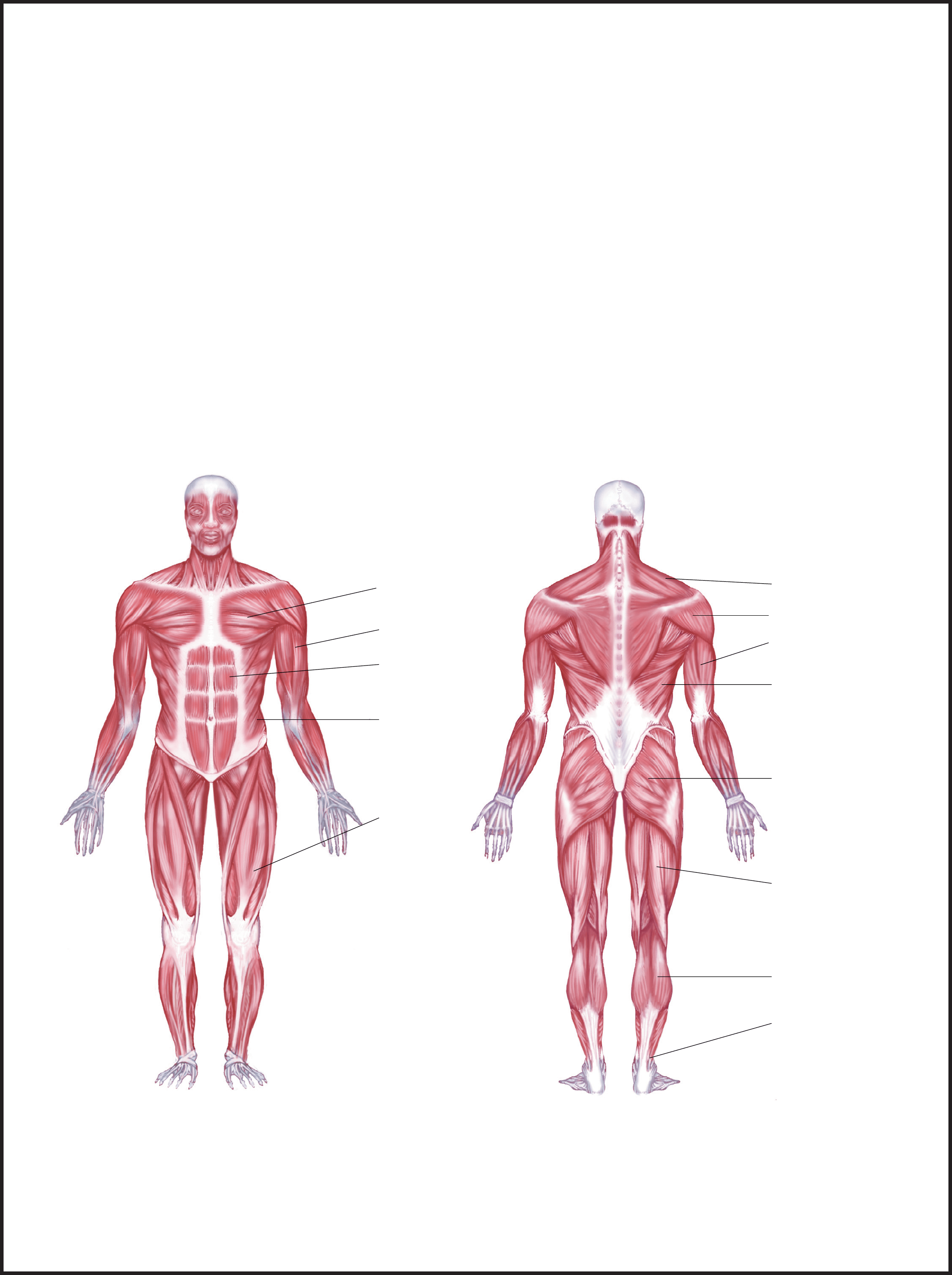 gluteus muscles diagram pain whitetail deer vital area labeled muscle chart free download