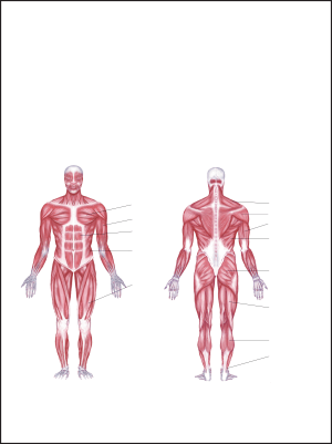 Labeled Muscle Diagram Chart Free Download