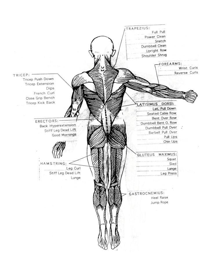 Basic Muscle Chart Free Download