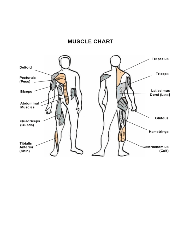 Simple Muscle Chart Free Download