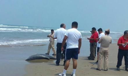 Aparece nuevamente delfín muerto en las playas