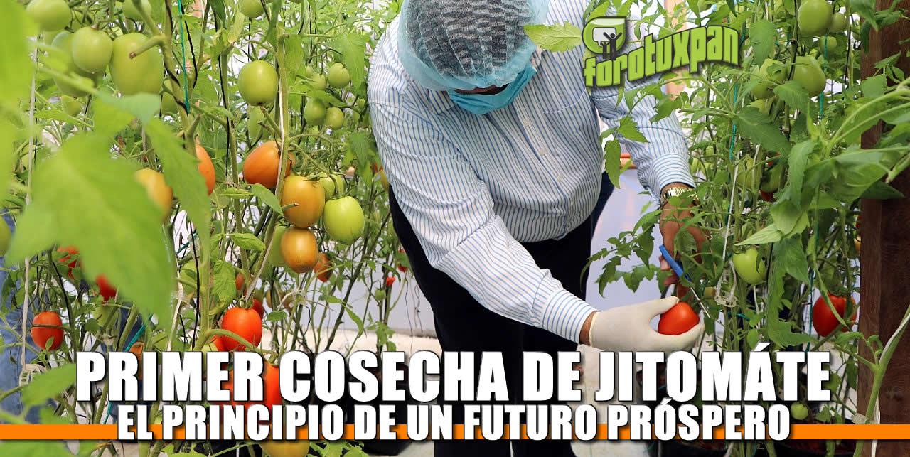 Primer Cosecha de Jitomate: El Principio de un futuro próspero