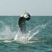 Fort Myers: 5/1/13 Fort Myers Fishing Report ~ tarpon moving in