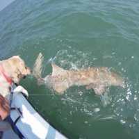 6/30/13, #FortMyersFishing #FloridaFishing: Fort Myers Fishing Report ~ Captiva, nurse shark
