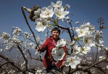 HANYUAN, CHINA -MARCH 25: A Chinese farmer pollinates a pear tree by hand on March 25, 2016 in Hanyuan County, Sichuan province, China. Heavy pesticide use on fruit trees in the area caused a severe decline in wild bee populations, and trees are now pollinated by hand in order to produce better fruit. Farmers pollinate the pear blossom individually. Hanyuan County describes itself as the 'world's pear capital', but the long-term viability of hand pollination is being challenged by rising labor costs and declining fruit yields. A recent United Nations biodiversity report warned that populations of bees, butterflies, and other pollinating species could face extinction due to habitat loss, pollution, pesticides, and climate change. It noted that animal pollination is responsible for 5-8% of global agricultural production, meaning declines pose potential risks to the world's major crops and food supply. (Photo by Kevin Frayer/Getty Images)