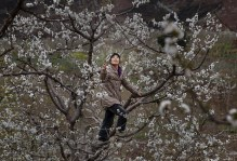 HANYUAN, CHINA - MARCH 26: A Chinese farmer climbs in a pear tree as she pollinates the flowers by hand at a farm on March 26, 2016 in Hanyuan County, Sichuan province, China. Heavy pesticide use on fruit trees in the area caused a severe decline in wild bee populations, and trees are now pollinated by hand in order to produce better fruit. Farmers pollinate the pear blossom individually. Hanyuan County describes itself as the 'world's pear capital', but the long-term viability of hand pollination is being challenged by rising labor costs and declining fruit yields. A recent United Nations biodiversity report warned that populations of bees, butterflies, and other pollinating species could face extinction due to habitat loss, pollution, pesticides, and climate change. It noted that animal pollination is responsible for 5-8% of global agricultural production, meaning declines pose potential risks to the world's major crops and food supply. (Photo by Kevin Frayer/Getty Images)