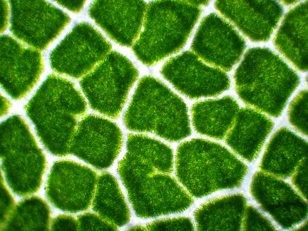 Cellule di foglia di Acero