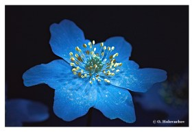 Anemone nemorosa FL - Stockholm SE (Apo Lanthar 125) DSC04292-308