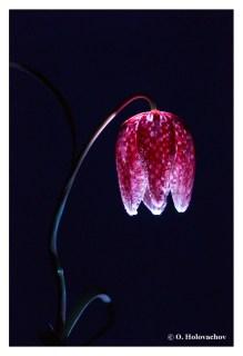 Fritillaria meleagris FL - Stockholm SE (Apo Lanthar 125) DSC04772