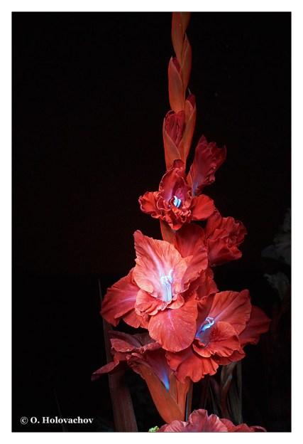 Gladiolus sp FL - Velyki Budky UA (Zuiko 20) DSC01741