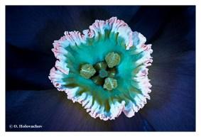 Narcissus hybrida - Stockholm SE (Apo Lanthar 125) DSC08993-9019