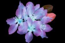 Prunus genus