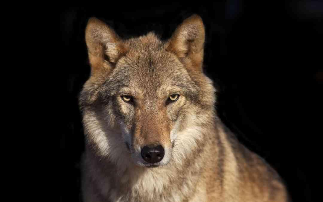 """Von Schweden lernen heißt """"Wolf- und Weidetierzukunft"""" gestalten!"""