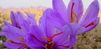 top_most_expensive_materials_saffron.jpg